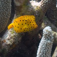 Yellow boxfish in a staghorn coral. Photo Suzanne Long/Parks and Wildlife