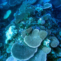 Plate coral - Photo copyright Australian Institute of Marine Science