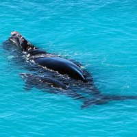 Mother and calf Southern Right Whale - Dave and Fiona Harvey