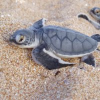 Green turtle hatchling. Photo Kate Fitzgerald