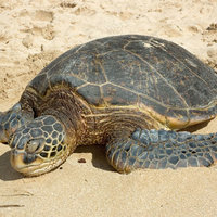 Green turtle - Photo copyright Australian Institute of Marine Science