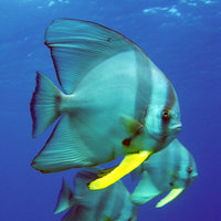 Batfish - Photo by Kate Fitzgerald/Parks and Wildlife
