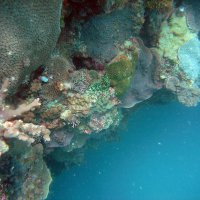 Slate Island subtidal corals on reef - AIMS