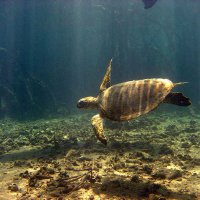 Turtle swimming near mangroves - Suzanne Long