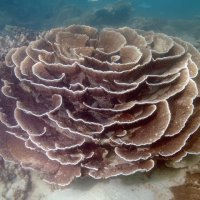Cabbage coral. Photo Suzanne Long/Parks and Wildlife