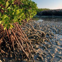 The stilt-rooted mangrove (Rhizophora stylosa). Photo Suzanne Long/Parks and Wildlife