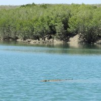 Crocodile swimming near mangroves - Michael Travers