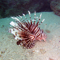 Lionfish - Photo copyright Cathy Zwick