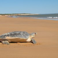 Flatback turtle returning to the sea - Andrea Koch