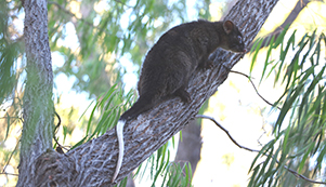Western ringtail possum Pia Courtis
