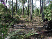 Shelterwood treatment in a jarrah forest