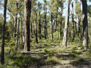 Unlogged jarrah forest