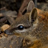 Numbat PhD project