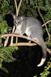 Western Ringtail Possums Parks And Wildlife Service