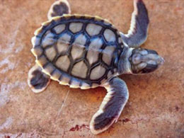 Flatback turtle hatchling Photo ֠Kellie Pendoley