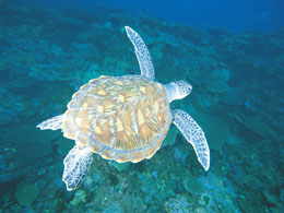Marine turtles in Western Australia - Parks and Wildlife Service
