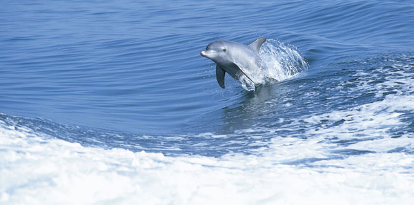 Photo: of the Bottlenose Dolphin in Western Australia