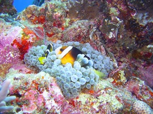 pair of clarks anemone fish