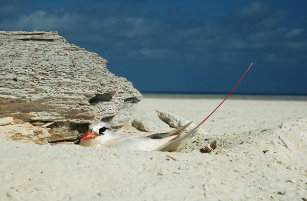 Photo: red-tailed tropicbird
