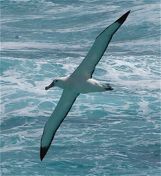 Photograph: Wandering Albatross - Photo Copryight D Coughran