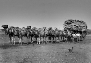 Camels in western australia parks and wildlife service for Camel motors on park and ajo