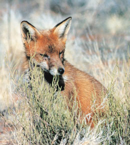 The introduced European fox