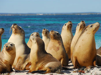 jurien sea lions kev crane
