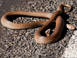 Dealing With Snakes Parks And Wildlife Service