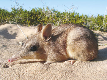 Western Barred Bandicoot