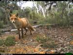 Fox captured on remote camera in Dryandra Woodland