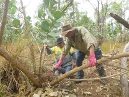 Trevor Brown and Wayne Lloyd cutting down calotropis plants and applying chemicals to the stumps