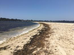 Warmer weather brings smelly weeds to Swan River foreshore