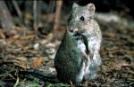 Photo- Dick Walker/ Gilbert's Potoroo Action Group