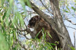 Western ringtail possum