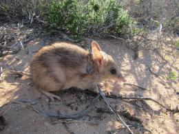 western barred bandicoot after release from Elliot trap