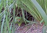 A male western ground parrot leaves the nest after feeding a female