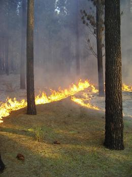 Prescribed burning in pine plantation north of Perth