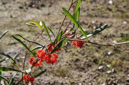 Grevillea brachystylis subsp. grandis with flowers and fruit
