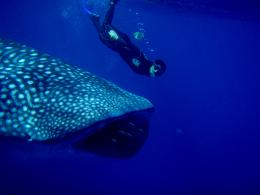 Swimming with whale sharks at Ningaloo Marine Park