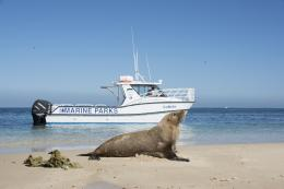 An Australian sea lion enjoying the marine park. Photo - Parks and Wildlife.
