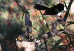 Willy wagtail with chicks