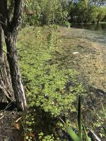 Frogbit on Browns Lake