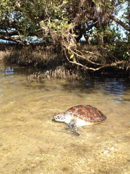 Green turtle released at Exmouth. Photo - Parks and Wildlife