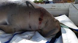 Deceased dugong removed from Exmouth's Town Beach in early June. Necropsy results show that the dugong died due to catastrophic blunt force trauma to the skull, caused by a small watercraft.