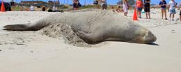 Public urged to stay away from elephant seal at Sorrento Beach