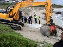 Photos: The sperm whale head being removed from the beach using heavy machinery
