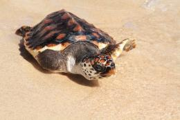 One of the sea turtles released at Coral Bay