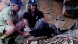 Releasing a rock wallaby in Kalbarri National Park. Photo: WWF Australia